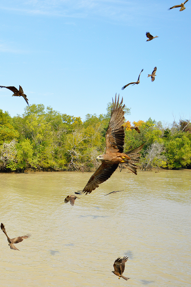 Kites | Jumping Crocodile Cruise Darwin | Darwin must-do | lizniland.com